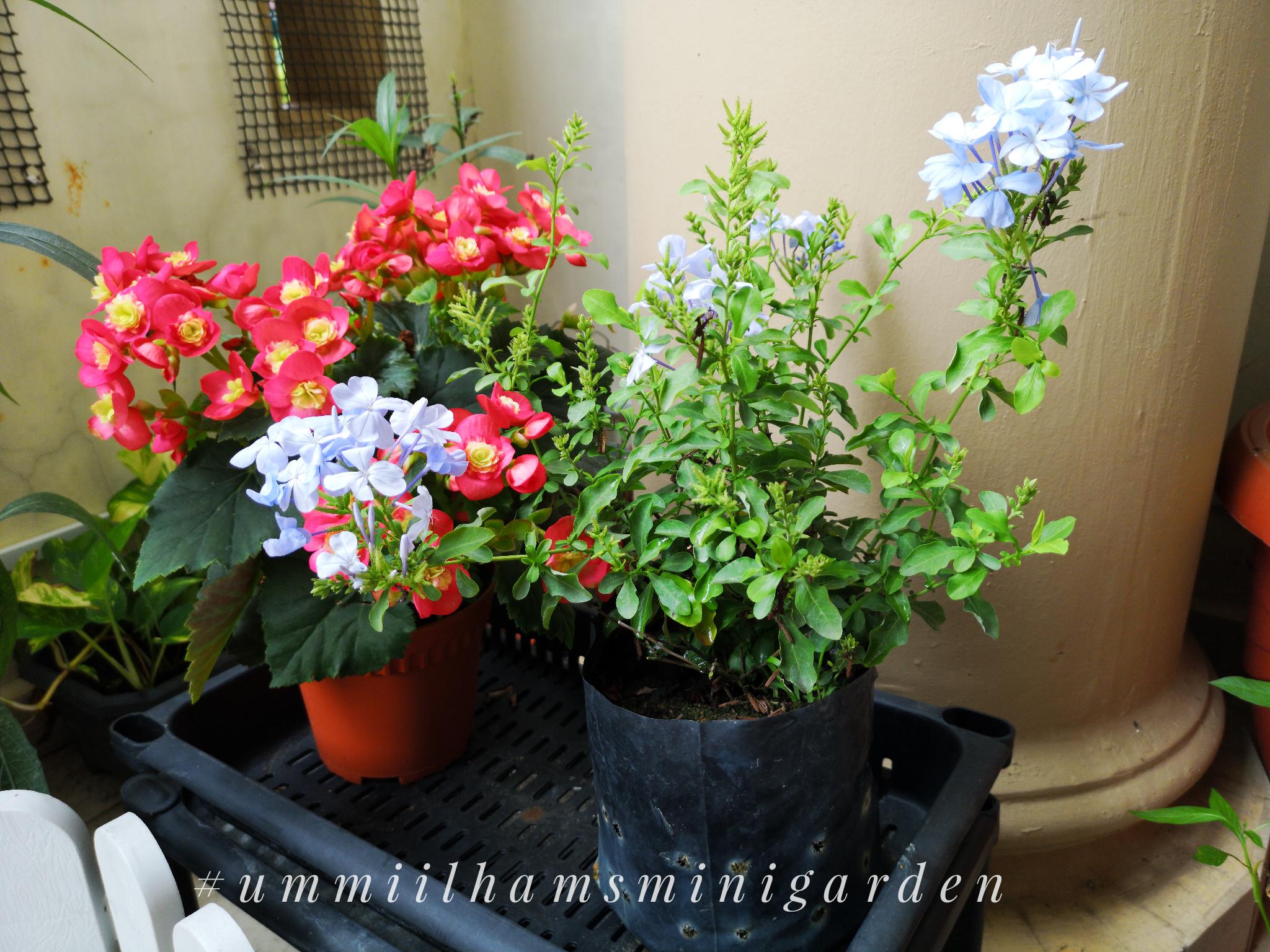 #ummiilhamsminigarden | Pokok Bunga Baru Yeay!